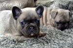 Absolutely stunning Blue-tri Lilac Frenchie puppies availabl