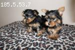 Micro, Teacup & Toy Yorkie Puppies