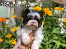 Irlayn dog offers for sale beautiful puppies Biewer-Yorkies