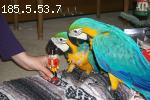 Beautiful Golden Macaw parrots