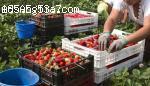 Ягоди Малини Къпини-Великобритания