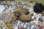 Well train 2 sweet lion-girls litters available..