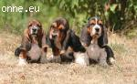 Gorgeous Kc Tricolour Basset Hound Puppies