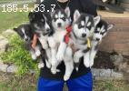 Pomskies and Huskies Pups