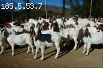 Full Blood Headed Pure Breed Dorpers And Boer Goats.!! +1(81