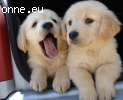 Gorgeous Golden Retriever puppies +447440524997